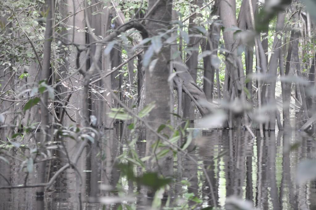 Überschwemmter Regenwald bei Leticia